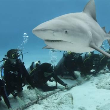 Temporada del tiburón toro