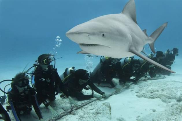 Stagione degli squali zambezi
