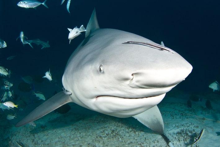 Bull Shark Discovery – Scuba Diving in Playa del Carmen
