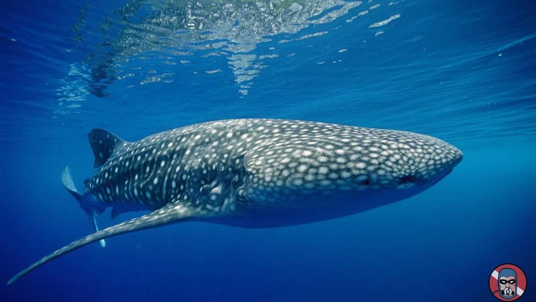 El Tiburón Ballena está en riego de extinción