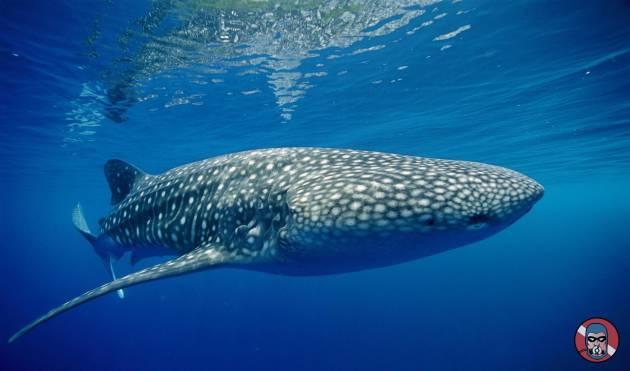 Lo Squalo Balena è a rischio di estinzione